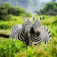 zebras_1883654_1920.jpg